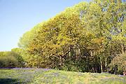 Populus tremula European aspen trees, oak tree and bluebell flower growing in meadow land, Kirton, Suffolk, England