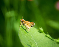 Skipper (?) Butterfly. Image taken with a Nikon D850 camera and 70-300 mm VR lens