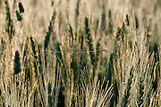 Israel, Golan Heights, Triticum Wheat field close-up