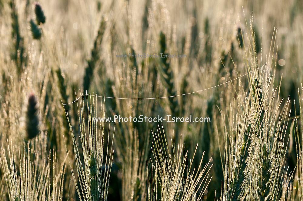 Israel, Golan Heights, Triticum Wheat field close-up