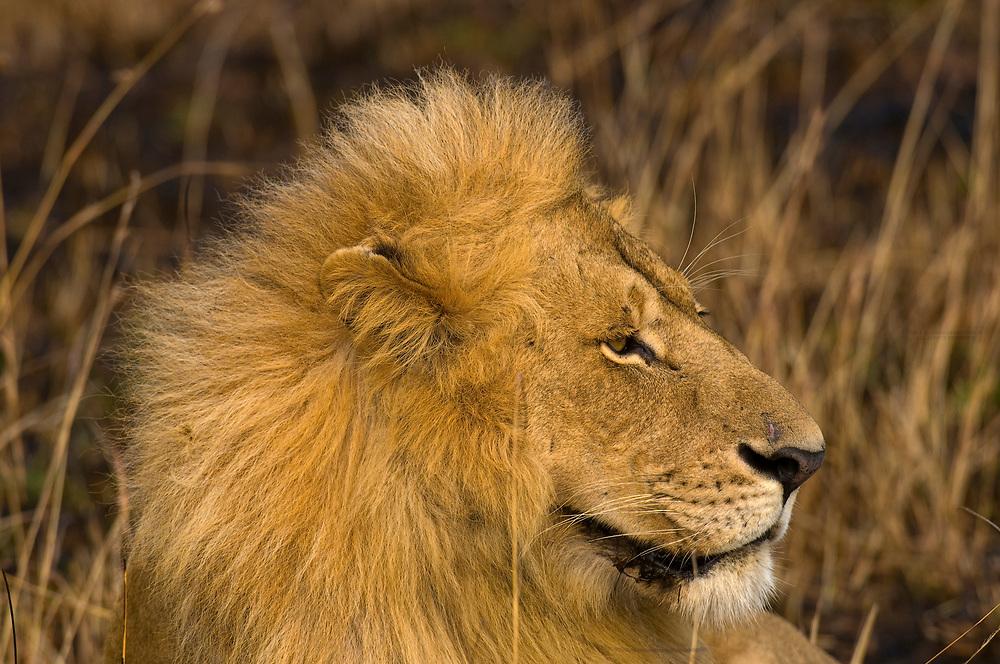 A lioness and lion, Masai Mara National Reserve, Kenya