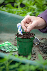 Sowing courgette seeds in a pot in the greenhouse.