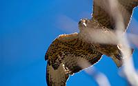 Galapagos hawk (Buteo galapagoensis) hovering over Darwin's Lake, Tagus Cove, Isabela Island, Galapagos