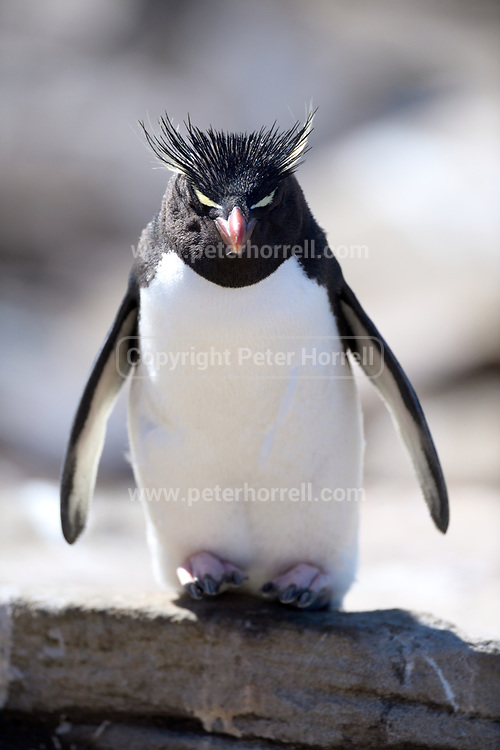 A Southern Rockhopper penguin (Eudyptes chrysocome chrysocome) trys to cool down on Saunders Island on Sunday 4th February 2018.