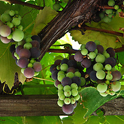 Grapes rippening on a vine in California.