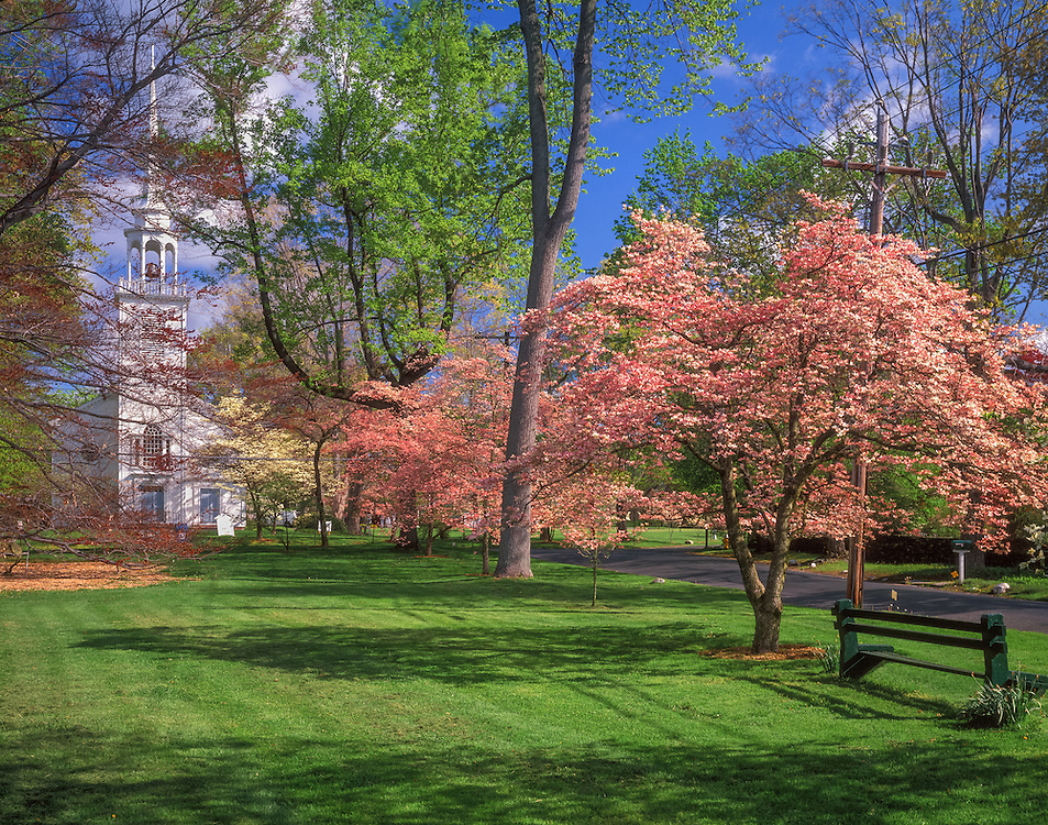 Dogwood trees line village green in spring, park bench, 1726 Congregational church beyond, Greenfield Hill, CT