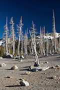 Trees poisoned by carbon dioxide at Horseshoe Lake, near Mammoth Lakes, California.