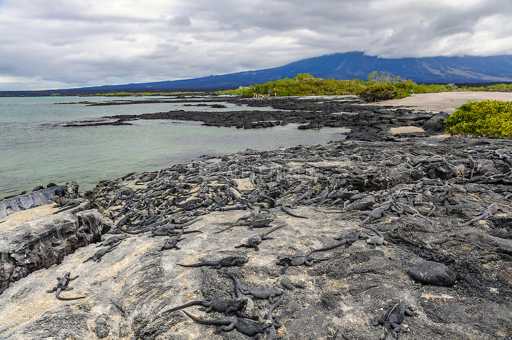 The rocky coastline of Punta Espinoza at Fernandina, Galapagos, where hundreds of marine iguanas (Amblyrhynchus cristatus) bask in the sun.