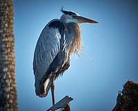 Great Blue Heron with a thick beard resting in the early morning sun. Merritt Island National Wildlife Refuge. Image taken with a Fuji X-T2 camera and 100-400 OIS lens