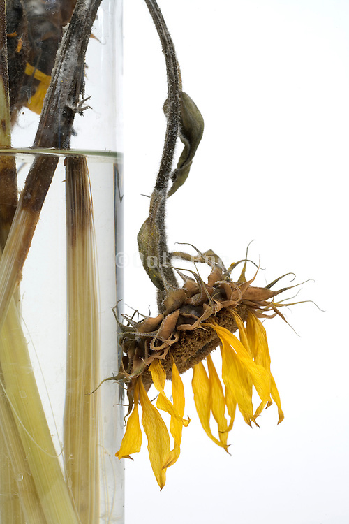close up of dying sunflower head in a vase with fresh clean water