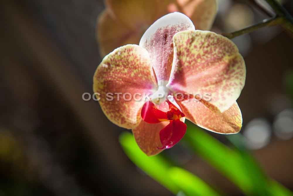 Speckled Orchid Flower at the Botanical Garden Balboa Park