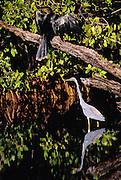 A Tri-colored Heron feeds while an Anhinga preens in a Florida swamp.