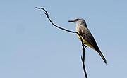 Tropical kingbird (Tyrannus melancholicus) from Pantanal, Brazil.