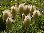 A field of Western Pasqueflower (Anemone occidentalis, or Pasque Flower) grows hair-like seed heads in Goat Rocks Wilderness Area. Hike this scenic loop to Snowgrass Flat and Goat Ridge (13 miles, with 3180 feet total gain) in Gifford Pinchot National Forest, Washington, USA.
