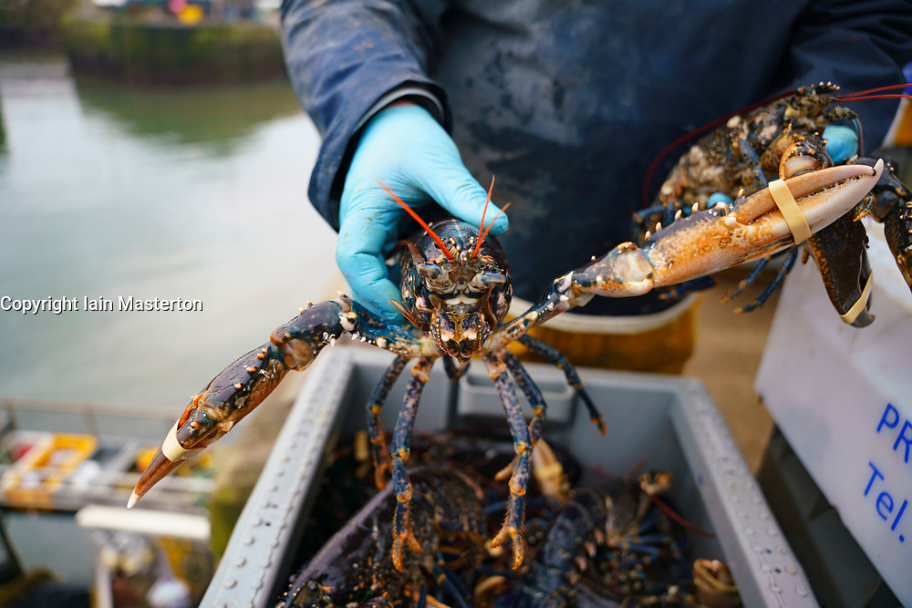 Pittenweem, Scotland, UK. 15 January 2020. Fresh shellfish, crab and lobster landed this morning at Pittenweem harbour in Fife. Fisherman Nick Irvine has two boats that catches shellfish, shrimp, velvet crab, brown crab and lobster. Much of his catch is exported to Asia and is busy at this time of the year because of upcoming Chinese New Year which increases demand and prices. This has helped to offset problems exporting into the EU because of new regulations. Pic; Nick Irvine holds a fresh lobster just landed.   Iain Masterton/Alamy Live News