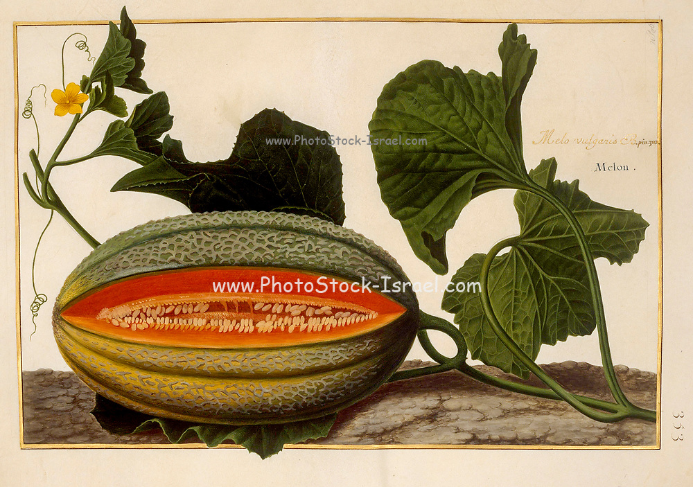 Melon vine and fruit a 17th century hand painted on Parchment botany study of a from the Jardin du Roi botanical Florilegium of Prince Eugene of Savoy collection, Paris c. 1670 artist: Nicolas Robert