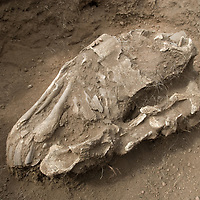 """An ancient horse skull lies in a 2700+ year-old, bronze age  """"khirigsuur"""" burial mound at Ulaan Tolgoi archaeological site near Lake Erkhel, north of Muren, Mongolia.  The site is associated with mysterious deer stone monuments."""