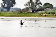 Nederland, Kekerdom, 3-8-2017Een meerkoet, meerkoetje, vliegt op van het water in natuurgebied de Millingerwaard, Gelderse poort.Foto: Flip Franssen