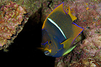 King Angelfish (Holacanthus passer)<br /><br />Coiba Island<br />Coiba National Park<br />Panama<br /><br />Siren's Point dive site