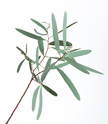 Eucalyptus cut out