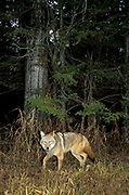 Coyote, Canis latrans, Minnesota, USA, walking out of forest, woodland