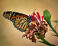 Monarch Butterfly on a Pink Flower. Autumn Backyard Nature in New Jersey. Image taken with a Fuji X-T2 camera and 100-400 mm OIS telephoto zoom lens (ISO 200, 300 mm, f/5.6, 1/75 sec)