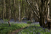 Bluebells in spring woodland near Underriver, England, United Kingdom. Bluebells or H. non-scripta is particularly associated with ancient woodland where it may dominate the woodland floor to produce carpets of violet–blue flowers in bluebell woods, but also occurs in more open habitats in western regions. It is protected under UK law.