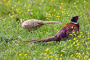 Male cock pheasant, Phasianus colchicus, and female hen pheasant in meadow in The Cotswolds, Oxfordshire, UK