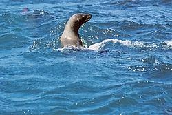 Cape Fur Seal At Seal Rock