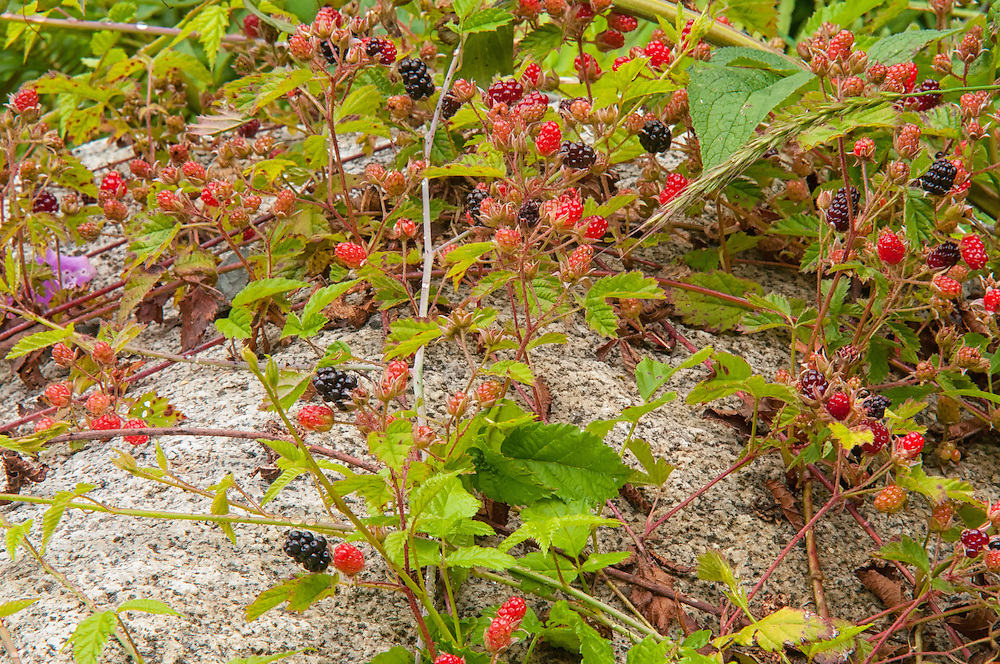 These native blackberries grow is such numbers that they will literally weigh the branches down to the ground. In fall, the leaves and roots can be made into a tea with several medicinal properties to treat a number of ailments. The berries can also be dried and eaten in the fall.
