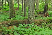 Inland temperate rain forest in Hemlock Grove<br /> Glacier National Park<br /> British Columbia<br /> Canada