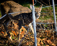 Young Deer inside the Electric Fence. Image taken with a Fuji X-H1 camera and 200 mm f/2 camera + 1.4x teleconverter (ISO 200, 280 mm, f/2.8, 1/3500 sec).