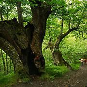 Old oak tree at El Bierzo region, Spain