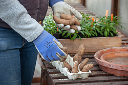 Chitting seed potatoes by placing them in an egg tray in a greenhouse