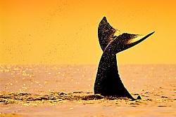 humpback whale, Megaptera novaeangliae, calf, tail-slapping or lobtailing at sunset, fluke silhouette, Hawaii, USA, Pacific Ocean