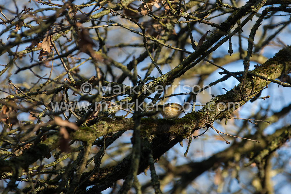 Harefield, UK. 20 January, 2020. A goldcrest at the Colne Valley wildlife protection camp.