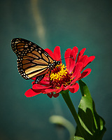 Monarch Butterfly on a Zinnia Flower. Image taken with a Nikon D850 camera and 105 mm f/1.4 lens (ISO 64, 105 mm, f/7, 1/200 sec).