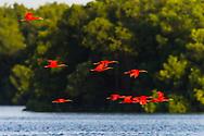 Scarlet Ibis (Eudocimus ruber) in flight near sunset, Trinidad