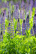 Lupin Flowers, Lupinus polyphyllus, nr Rautalampi, Kuopio, Finland, lupines, purple, and pink colours,