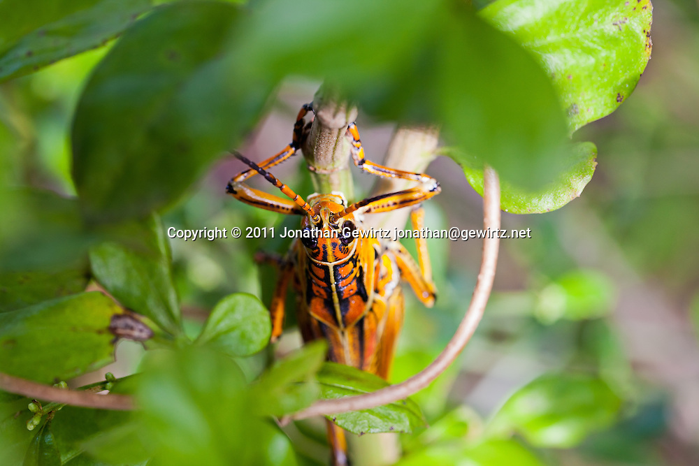A bright orange/yellow lubber grasshopper (Romalea guttata) on vegetation in the Florida Everglades. WATERMARKS WILL NOT APPEAR ON PRINTS OR LICENSED IMAGES.