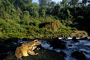Giant Frog<br />at Acaba Vida Waterfall<br />near Barreiras.  BRAZIL.  South America