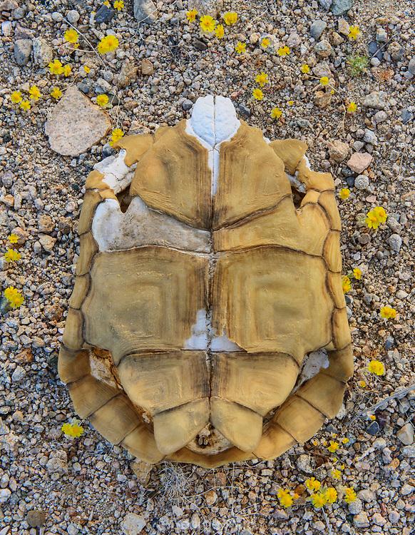 Desert Tortoise Shell, Mojave National Preserve, California