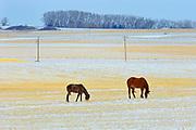 horses grazing in field in winter