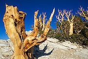 Ancient Bristlecone Pines in the Patriarch Grove, Ancient Bristlecone Pine Forest, White Mountains, California
