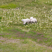 Polar bears (Ursus maritimus) viewed from the air during the summer survey of Hudson Bay.