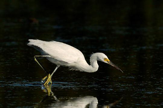 Snowy Egret (Egretta thula) In breeding plumage. Wading in wetland of southwest Florida.