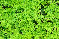 Limestone oak fern, Gymnocarpium robertianum, Saltoluokta area, bordering to the Stora Sjöfallet National Park, Greater Laponia rewilding area, Lapland, Norrbotten, Sweden