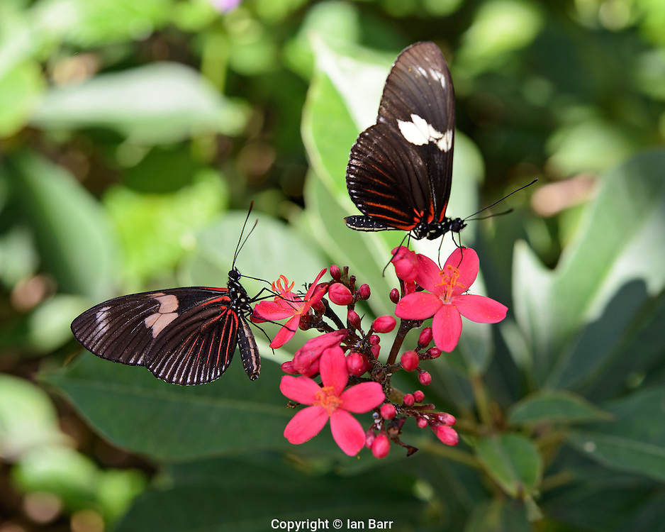 Two butterflies sipping nectar