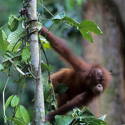 Orangutan, (Pongo pygmaeus) Young in tree tops of rain forest. Northern Borneo. Malaysia. Controlled Conditons.