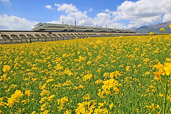 """File photo taken on Aug. 4, 2015 shows a bullet train running along fields of rape flowers on the Lanzhou-Xinjiang high-speed railway, northwest China's Qinghai Province. """"Building more high-speed railways"""" has been a hot topic at the annual sessions of China's provincial legislatures and political advisory bodies intensively held in January. China has the world's largest high-speed rail network, with the total operating length reaching 19,000 km by the end of 2015, about 60 percent of the world's total. The expanding high-speed rail network is offering unprecedented convenience and comfort to travelers, and boosting local development as well. Chinese companies have developed world-leading capabilities in building high-speed railways in extreme natural conditions. High-speed railway routes across China have been designed to suit its varying climate and geographical conditions. The Harbin-Dalian high-speed railway travels through areas where the temperature drops to as low as 40 degree Celsius below zero in winter, the Lanzhou-Xinjiang railway passes through the savage Gobi Desert and the Hainan Island railway can withstand a battering from typhoons. The China Railway Corp. plans to spend another 800 billion yuan (around 120 billion U.S. dollars) in 2016, especially in less-developed central and western regions. EXPA Pictures © 2016, PhotoCredit: EXPA/ Photoshot/ Cai Zengle<br /><br />*****ATTENTION - for AUT, SLO, CRO, SRB, BIH, MAZ only*****"""